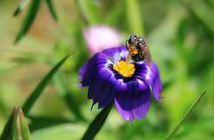 Loving flowers (TJ Gehling) Tags: insect hymenoptera bee plant flower asparagales iridaceae blueeyedgrass californiablueeyedgrass sisyrinchium sisyrinchiumbellum ohlonegreenway elcerrito
