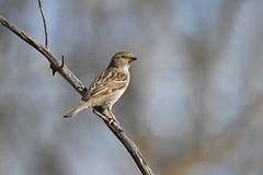Just a common sparrow in the backyard (jc-pics) Tags: bird sparrow nikon d500 nikkor 200500mm nature wildlife backyard