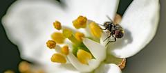 To drink ! (TAHARFR) Tags: macro dreams insectes nature