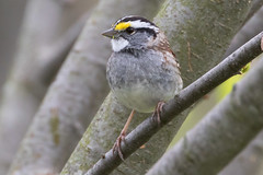 White-Throated Sparrow 4-15-2017-4 (Scott Alan McClurg) Tags: emberizidae passeri passeroidea zalbicollis zonotrichia animal back backyard bird life nature naturephotography neighborhood perch perching portrait songbird sparrow spring suburbs whitethroated whitethroatedsparrow wild wildlife