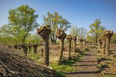 Biesbosch (Pieter Mooij) Tags: dordrecht zuidholland nederland wilgenbos biesbosch wilgen