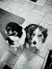 Happy smiles (jasminefisher1) Tags: pet animals happy smiles loyal bordercollie collie dogs friends dog