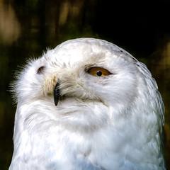 Schneeeule (Schilt Thomas) Tags: anderestichwörter auge schneeeule vogel weiss bird owl snowy white