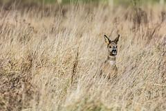 Roe deer (cradenborg) Tags: c cceradenborg capreoluscapreolus europeanroedeer mammalia nature openbaar outdoor public wildlife zoogdieren ree ©ceradenborg