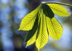 Fresh Green (FocusPocus Photography) Tags: kastanie chestnut blatt leaf frischesgrün freshgreen frühling spring