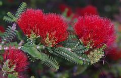 Beaufortia aestiva, Kings Park, Perth, WA, 10/01/17 (Russell Cumming) Tags: plant beaufortia beaufortiaaestiva myrtaceae kingspark perth westernaustralia