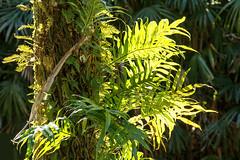 The Tree Trunk (Robert F. Carter Travels) Tags: boktower boktowergardens fern ferns vegetation sunlight gardens green