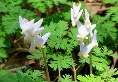 Dutchman's breeches at Black Oak Hollow IA 854A9845 (lreis_naturalist) Tags: dutchmans breeches flowers black oak hollow winneshiek county iowa larry reis