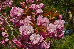 DSC_0279 (Me now0) Tags: japanesecherryblossoms японскивишни europe afternoon spring park nikond5300 basiclens 1855mmf3556 никонд5300 насекомо юженпарк софиябългарияевропа китовобектив