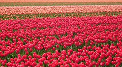 Tulip fields (EvelienNL) Tags: flower flowers tulip tulips flowerfield flowerbed bulbfield tulpen bloemen bloemenveld bloemenvelden tulpenveld tulpenvelden bollenveld bollenvelden dutch holland netherlands flevoland flevopolder red rood rode orange oranje texture field colourful