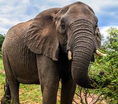 Elephant (Ebba Vind) Tags: elephants elephant wildlife southafrica safari nature