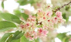 A kind of distinctive cherry trees Gyoiko(御衣黄) (sapphire_rouge) Tags: sakura 東京 ngc cherry pink 桜 cherryblossom 春 japan tokyo