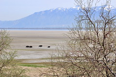 Bison on the Farmington Bay playa (Great Salt Lake Images) Tags: spring morning bison antelopeisland greatsaltlake utah