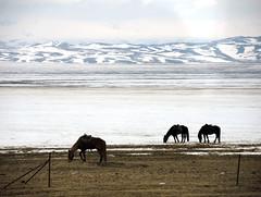 Horses (MelindaChan ^..^) Tags: xingjiang china 新疆 snow whtie cold chanmelmel mel people life melinda melindachan nature horse animal