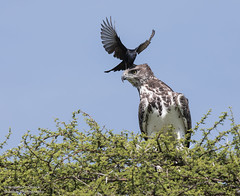 Juvenile Martial Eagle - Polemaetus bellicosus (rosebudl1959) Tags: 2017 botswana centralkalaharigamereserve juvenilemartialeagle forktaileddrongo