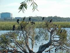 Tree of Cormorants (sander_sloots) Tags: cormorants tree herdsman lake perth nature meer aalscholvers boom