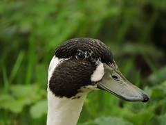 Hybrid mallard (deannewildsmith) Tags: earthnaturelife staffordshire fradleynaturecentre mallard duck hybrid mankymallard bird