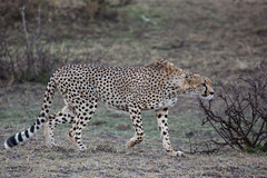 He has his prey in sight! (Ring a Ding Ding) Tags: 2017 acinonyxjubatus africa bigcat kenya kitcheche olareorek action cat cheetah hunting nature predator safari stalking wildcat wildlife narokcounty coth