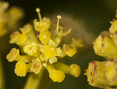 Astydamia latifolia lechuga de mar (Fotografía de Naturaleza de Paco Moreno Gámez) Tags: flora fauna fotografía naturaleza umbelífera canarias islas fuerteventura africa