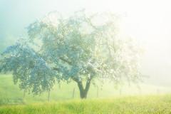 The light of spring (Rita Eberle-Wessner) Tags: spring frühling blossom blüte baumblüten apfelbaum appletree wiese weide meadow zaum fence landscape landschaft fog nebel licht light sunrise sonnenaufgang morgenlicht morgen grün green white weis odenwald