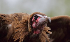 Vulture (beverleythain) Tags: vulture bird scavenger nature wildlife