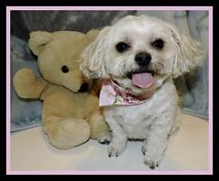Back From The Groomer (marilyntunaitis) Tags: dog pet bella groomer teddybear