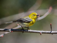 Pine Warbler (b88harris) Tags: pine warbler migration migratory spring tree bird nature wildlife yellow black white grey nikon nikkor lens light exposure sunlight