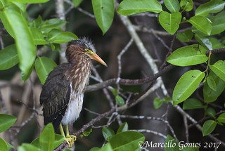 Green Heron (Butorides virescens) GRHE - Only a Couple of Weeks Old (best seen large)