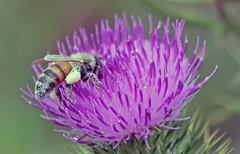 Busy Bee (Uhlenhorst) Tags: 2017 australia australien animals tiere blossoms blüten flowers blumen travel reisen plants pflanzen ngc
