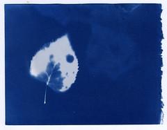 Earth Day (R. Drozda) Tags: fairbanks alaska photogram cyanotype bleachedbirchleaf betulapapyrifera sunprint solarenergy earth blue drozda