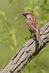 Coppertone (brev99) Tags: d610 tamron70300vc topazdetail topazdenoise bird branch greenbackground