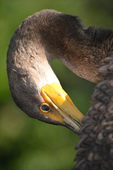 Cormorant is preening... watchful eye and lifted feathers (jungle mama) Tags: waterbird cormorant marsh preen wetland wakodahatchee supershot thegalaxy avianexcellence coth5 wakodahatcheewetlandsdelraybeachfl twistingneck