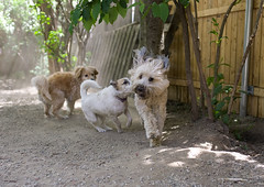 dorks (the girl at the kennel) Tags: dog play mutts softcoatedwheatenterrier jackrusselmix mixedbreeddogs cockerspanielmix