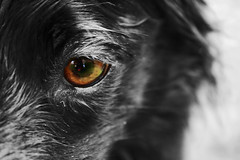 Bandit Eye B & W Eye In Color (Rachael Marie M) Tags: blackandwhite dog happy character bordercollie bandit dogsdogsdogs