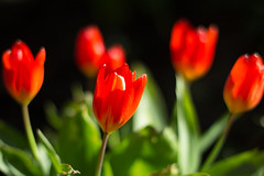 Summer is coming :) (Rani Joensen) Tags: flowers red 50mm islands with taken 18 faroe 600d