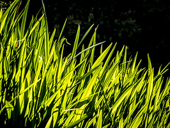 424_3063_02-05-13 (homewurks) Tags: iris summer green nature leaves john garden photography back leaf spring natural jour evergreen backlit blade lit deciduous crocosmia blades hopkins contrejour contre perennial perennials iridaceae montbretia homewurks