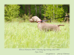ds48 (Glenkar) Tags: dog gundog