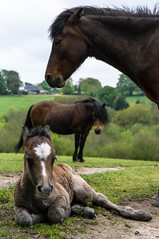 DSC01081.jpg (jontooke) Tags: horse animal pony dartmoor foal