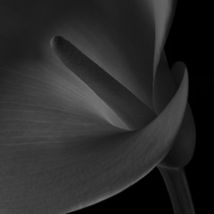 (Alan Drake) Tags: light blackandwhite bw abstract flower digital garden square nikon naturallight calalilly d7000