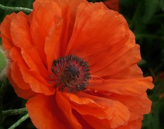 poppies 016 (cellocarrots) Tags: poppies