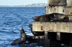 Mouthing off (Roving I) Tags: ocean sea nature wildlife australia victoria queenscliff chinamanshat furseals