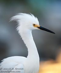 Snowy Egret (Bob Stronck) Tags: avian snowyegret redwoodcity redwoodshores sanmateocounty egrettathula heronlikebirds stronckphotocom birdsofsanfranciscobay ©2013rmstronck