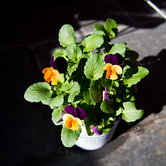 new flowers (AS500) Tags: orange plant flower purple pansy pot