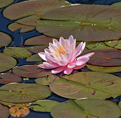 Water Lily In Bright Sun (riknran-can) Tags: waterlilies