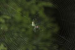 Spider eating series 28 (Richard Ricciardi) Tags: spider eating web spinne araa  araigne ragno timeseries     gagamba    nhn  spidertimeseries