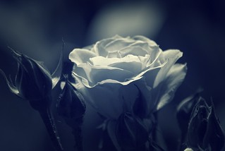 The White Rose of Yorkshire