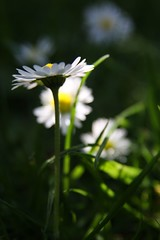Give me your answer, do (Claire Wroe) Tags: white plant flower green nature yellow daisies manchester leaf stem natural petal daisy stalk longford patk strtford