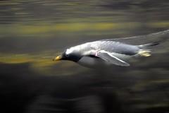 Swimming Penquin (Tobyotter) Tags: kentucky newport penquin newportaquarium
