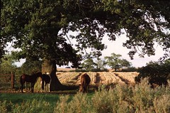 OXFORDSHIRE UK (REG HILLIER) Tags: uk trees england horses countryside wheat oxfordshire wheatfield