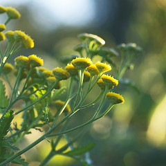 The Golden Hours (Lala Lands) Tags: dof bokeh falllight afternoonlight yellowwildflowers nikkor105mmf28 commontansy tanacetumvulgare goldenhours nikond300s summerandfallwildflowers